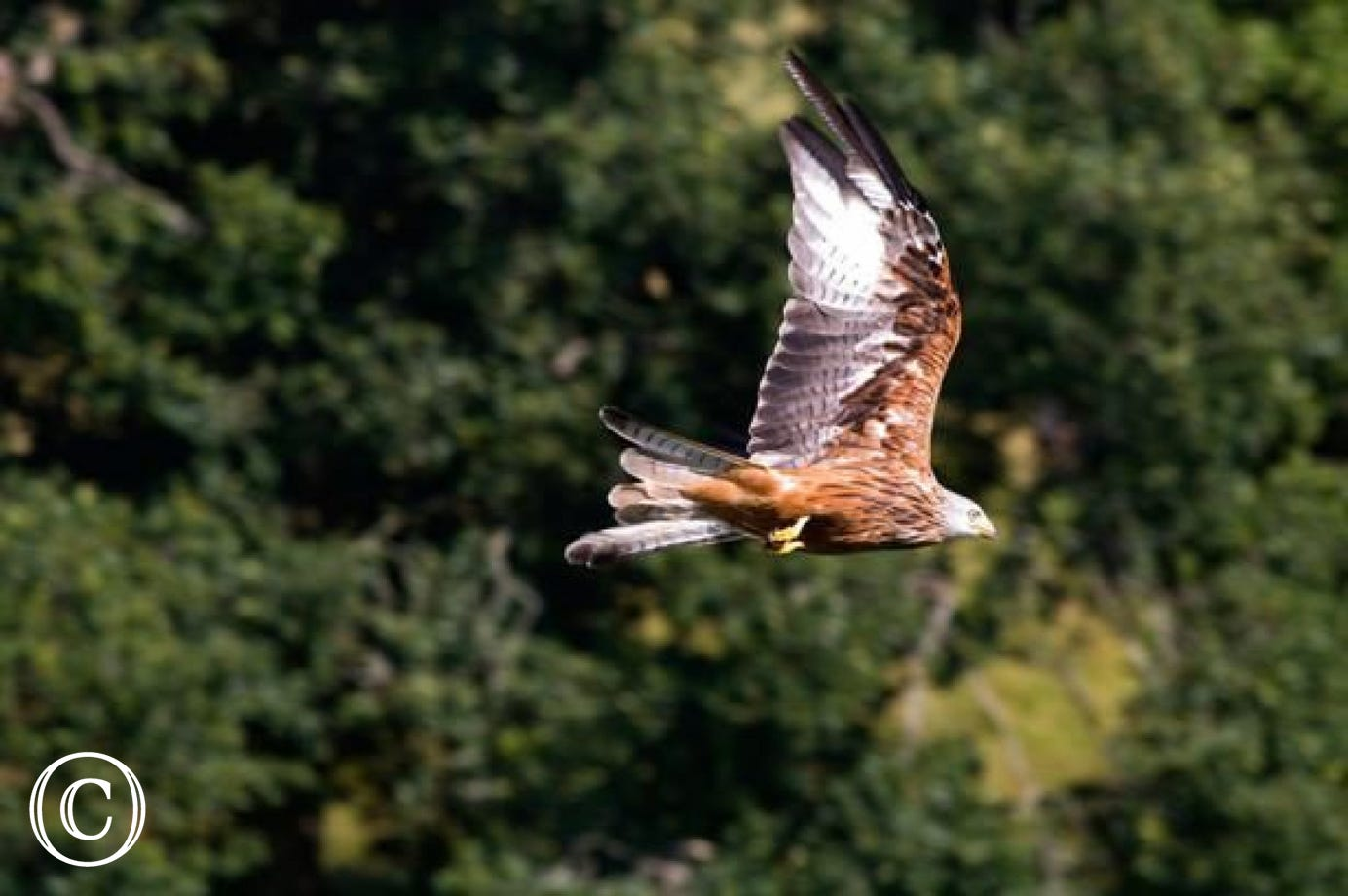 Visit the Red Kite Feeding Centre at Nant yr Arian