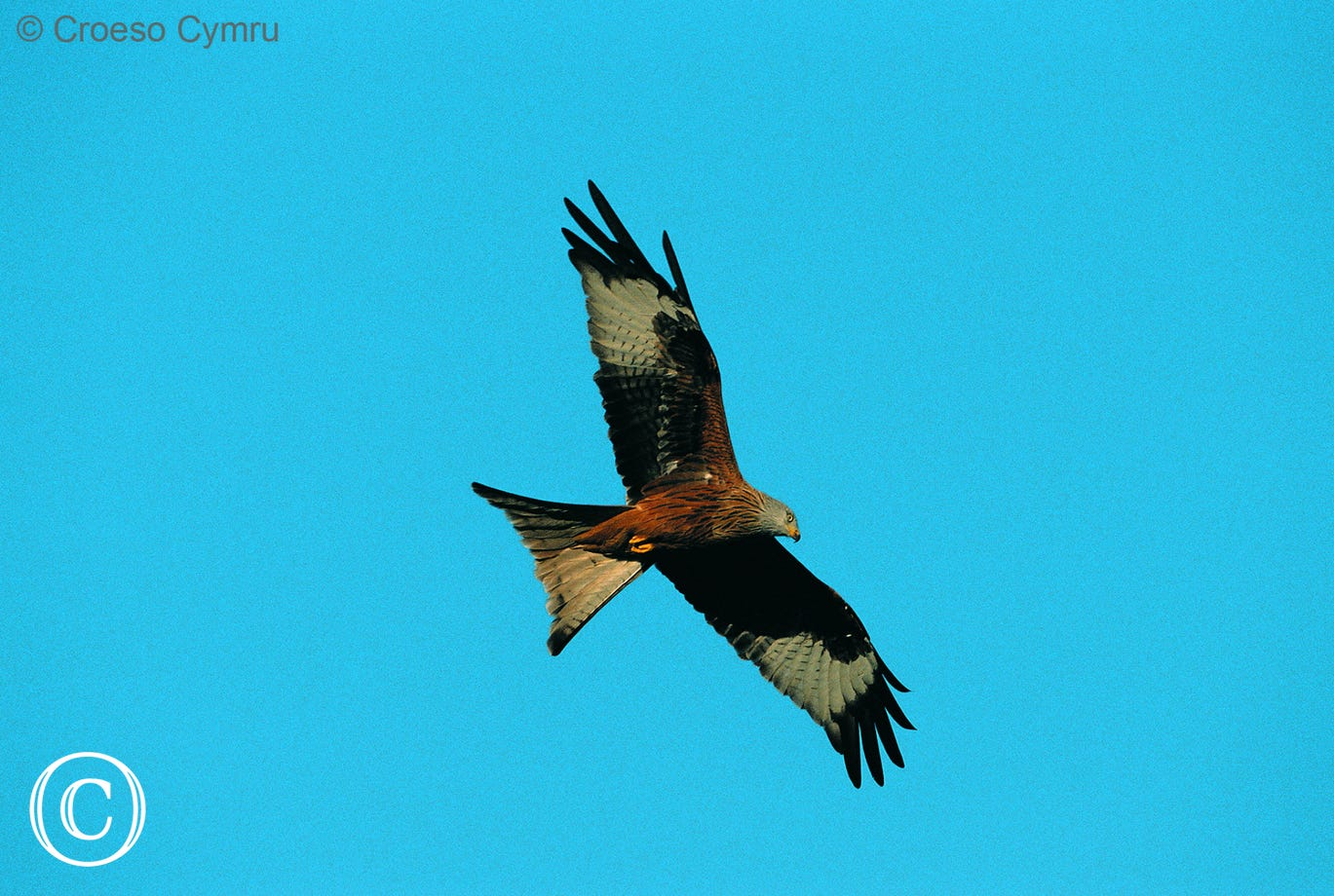 Watch the red kites being fed at Nant yr Arian Visitor Centre